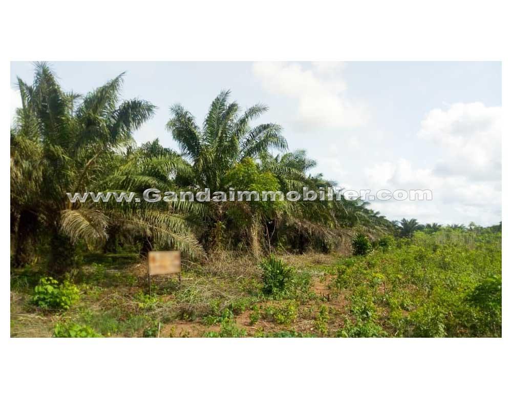 Hectare avec palmier sélectionné à vendre